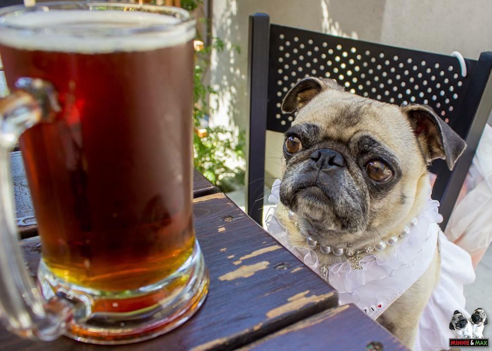 It's happy hour somewhere, @MattithePug!  @steinsbeer #pug #TGIF http://t.co/vFTzRnVPbM