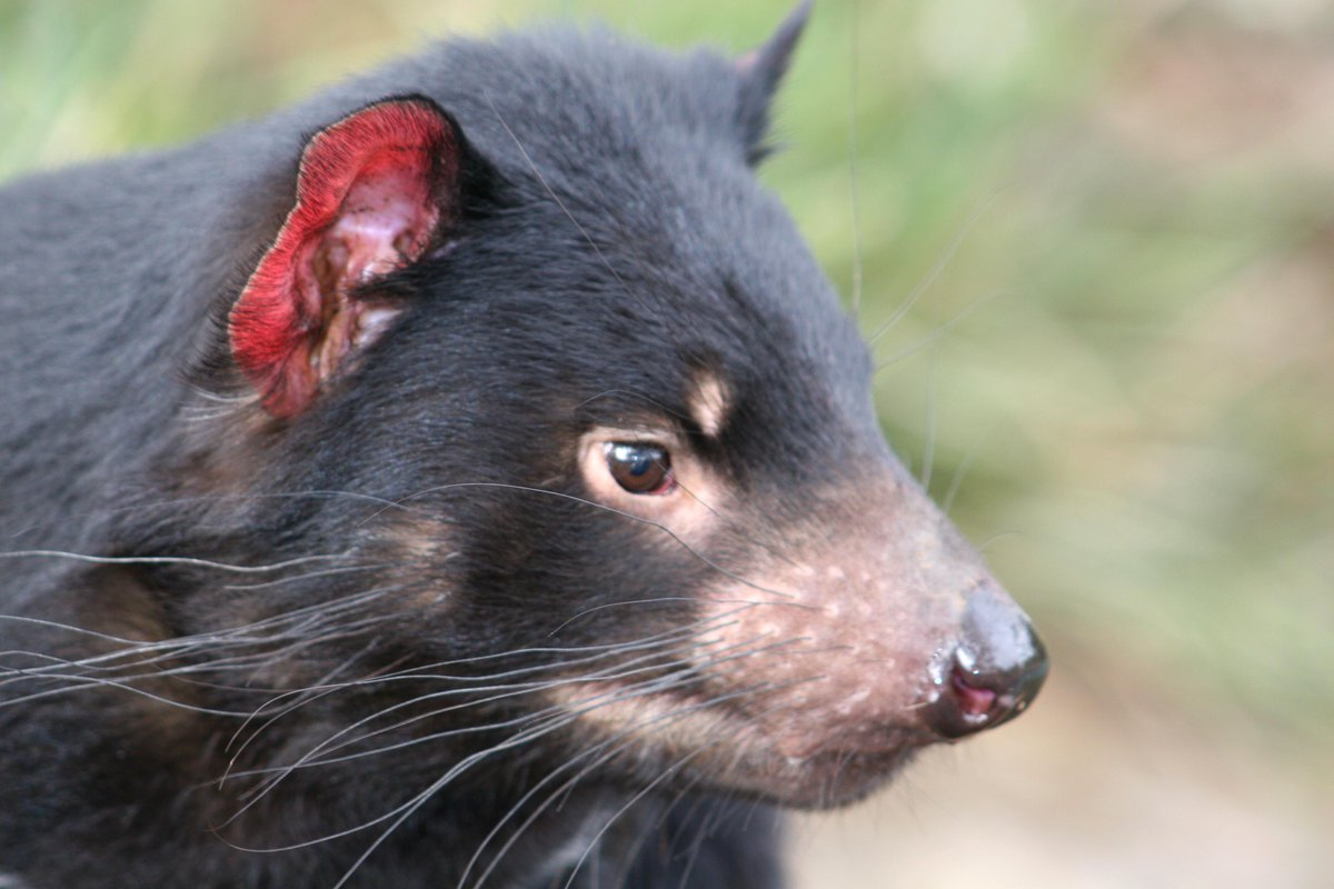 World first: trial of Tasmanian Devil vaccine begins in the wild http://t.co/cSF1pNfrdO @ResearchMenzies http://t.co/Ibhh38wvlQ