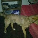 Perro macho encontrado anoche en Prado, Montevideo, correa negra, ojos y hocico claro, un año, llora mucho. Das rt? http://t.co/FiMRNMHShH