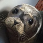The votes are in! Newest member of the #Va Aquarium, the young seal, has been named Rudder. http://t.co/QIBmVWtpW0 http://t.co/hMB7R40Ws9