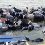 AUNQUE USTED NO LO CREA!!! Barco con 5 mil reses que venían de #Brasil a #Venezuela naufrago en el río Amazonas. http://t.co/NZhBf4ao0a