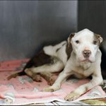 Starved & abandoned in South #Toledo, Frank heads to @LCPitCrew: http://t.co/XBhDoDcLXx #CutiesFund @LucasCountyDogs http://t.co/b3kFTRtCkG