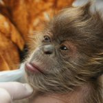 The many faces (and hairstyles) of Kemala! #CuteOff #OnlyInMN @mnzoo http://t.co/43R93XwZoG