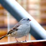 White-crowned Sparrows are migrating south, they stopped by in the Spring & now they are back again. #Ottawa #birds http://t.co/1Du2bKxjU3