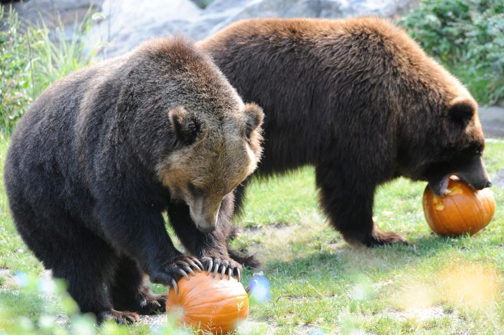 Keep your eyes peeled around the zoo today, some of our animals are getting holiday pumpkin treats! http://t.co/BAMhaigmzO