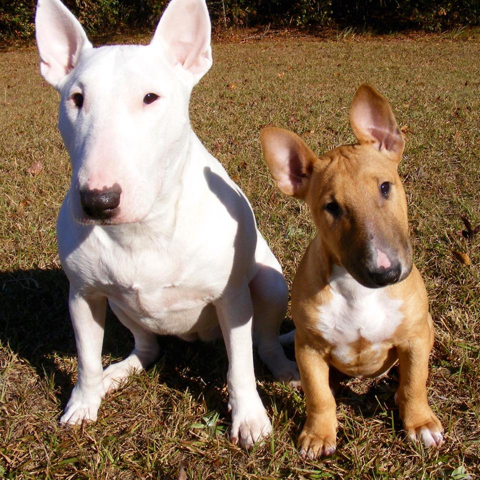 What is bull terrier