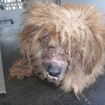 @RSPCAQld want to find the owner of this dog found on Hursley Rd. He has been blinded by infection #Toowoomba http://t.co/PE7xXfCBcq