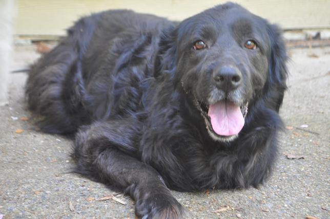@MUTTScomics #NationalBlackDogDay Abby, textbook great rescue dog. http://t.co/CjvkYljwWq