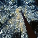 صور لبعض الأشجار تحاول عدم لمس أشجار أخرى مكونة حدوداً بينها، ولا يعرف لهذه الظاهرة تفسير علمي حتى اليوم/ صور24 http://t.co/Cj6PQJ66Ku