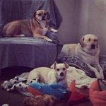 Boys. #HBO #campbellyrub #love #dogs #LosAngeles #mydayinla #puggle #labradorretriever #chihuahua #SundayFunday http://t.co/HcS2NjLdAc