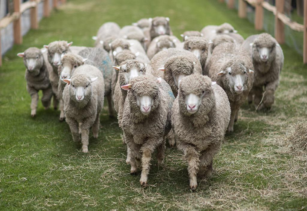Farmer Lesley Prior's flock of Bowmont Merino arrive to Savile Row for #SheepontheRow #WoolWeek http://t.co/mktwtBjsJB