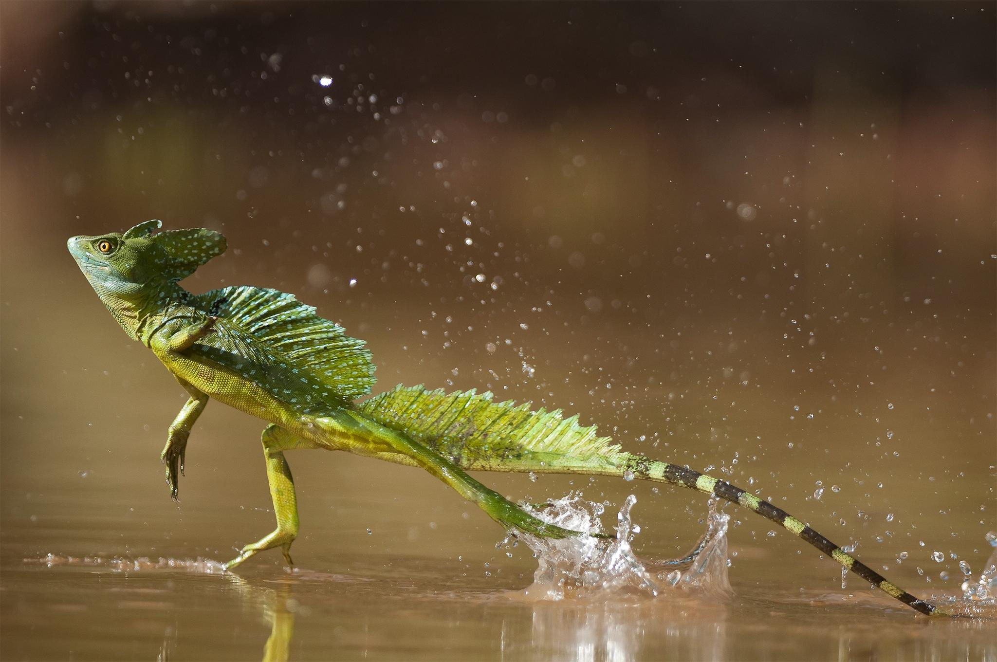 There's a lizard known as Jesus Christ Lizard due to its ability to run on the water. http://t.co/me2MlwRj8M