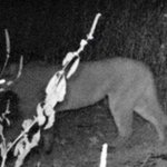 TWRA investigating photo that appears to show cougar in west Tenn. http://t.co/ZPuZppCDfK http://t.co/AENRjZvH0d