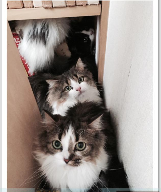【急募】猫の預かりのお願い 11月初旬に緊急譲渡会を予定してます。それまで、預かりさんを探してます。是非とも声をあげてください。  札幌市100匹ラガマフィン多頭崩壊の最初のレスキュー http://t.co/Am6Gg2MCrf http://t.co/l5vyYmRnZw