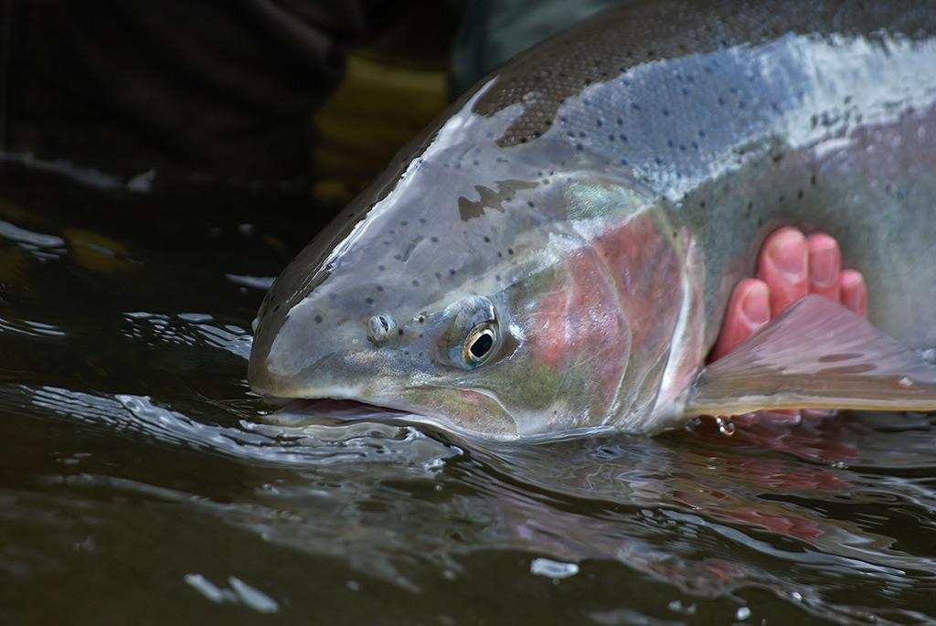 Hooking wild and precious #steelhead in BC's #Skeena River: http://t.co/Vb4jzhc8Ox http://t.co/Zi0aNDR3Zx