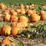 Pick your own pumpkins fresh from the farms right here in #SanDiego! 5 #pumpkinpatches http://t.co/TR3ClCOh1F http://t.co/zKyOXR2Aw9