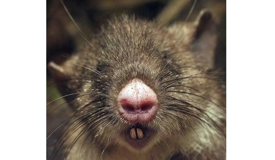 出っ歯】「ブタ鼻」の新種ネズミ...