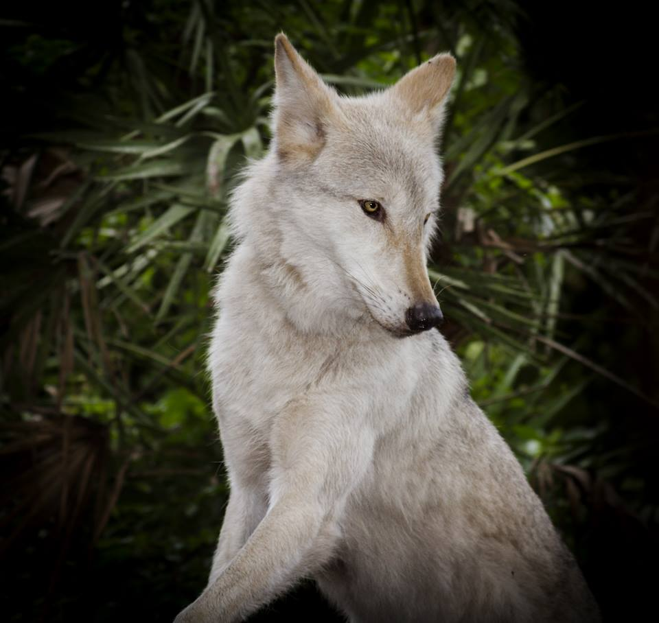 The incredible strength and beauty of a wolf -- wow. Just wow. #wolves #shywolfsanctuary http://t.co/qov4UkMMws