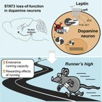 """The """"runners high"""" not through endorfines, but rather leptin and dopaminergic mechanism? http://t.co/scKnPhr8kD http://t.co/OuwPKxUJCE"""