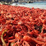 Pelagic red crabs started washing up on the beach today! These southern tuna-snacks tend to visit during El Niño! http://t.co/kOe2eciSIF