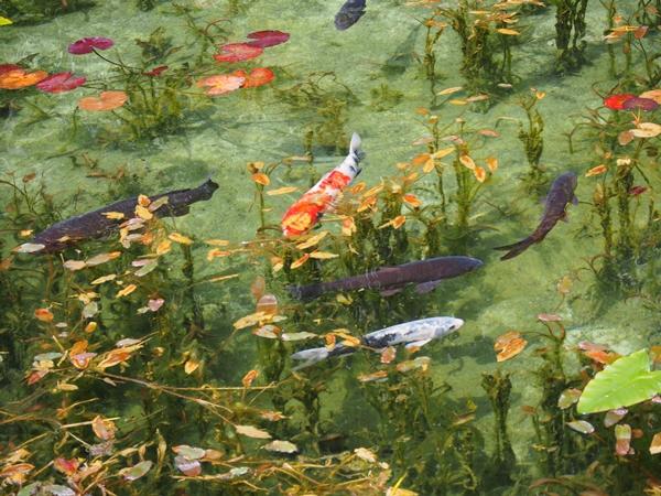 岐阜にこんなとこがあったのかー。夏に寄ればよかった。板取川・モネの池。写真はweb検索より拝借。 http://t.co/ITTUW7tHmT http://t.co/JZ8c0ZUtGT
