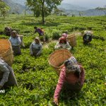 Así es la vida de esclavitud de los recolectores de te en India (Fotogalería) http://t.co/Ppn6jmFGVH @Planeta_Futuro http://t.co/ruO58x9a5J