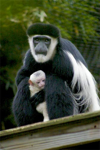 Thanks for spreading the #ColobusDay love @Oatmeal. We're sending you a colobus hug #PopSciLovesTheOatmeal http://t.co/cGpJPEKge4