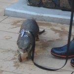 10月13日(火)12時30分現在、水族館へは待ち時間なくご入場頂けます。ご来館お待ちしております! 写真は今日お散歩をしていたハクです♪ #サンシャイン水族館 #ハロウィン http://t.co/saL2RcOjYp