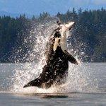 Fotógrafa flagra orca saltando fora da água e capturando toninha no Canadá http://t.co/O9Vz796WLB #G1 http://t.co/dstgBhjROy