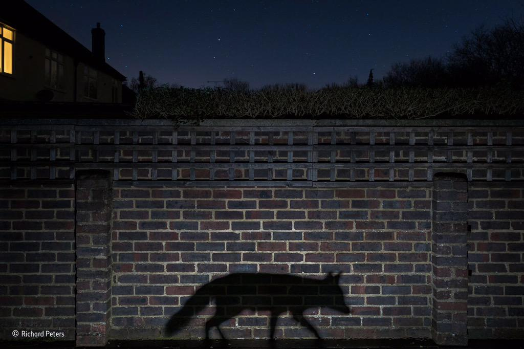 Hurrah! RT @NHM_WPY: The UK's Richard Peters, who hails from London, wins Urban wildlife with Shadow Walker #WPY51 http://t.co/RyEsmykdRd