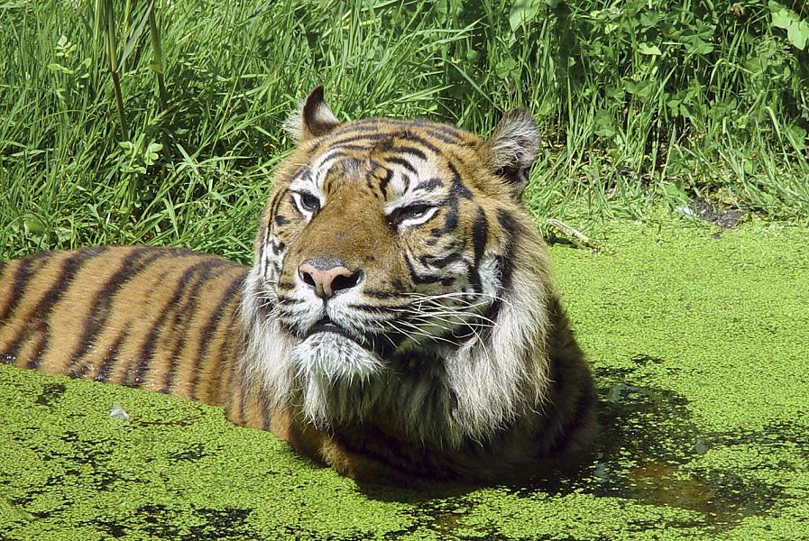 Tiger Tragedy in Asia @CEOAdamRoberts of @BornFreeUSA explains > http://t.co/UP6BBoYZLm #WildlifeWednesday http://t.co/l2xESn6iXE