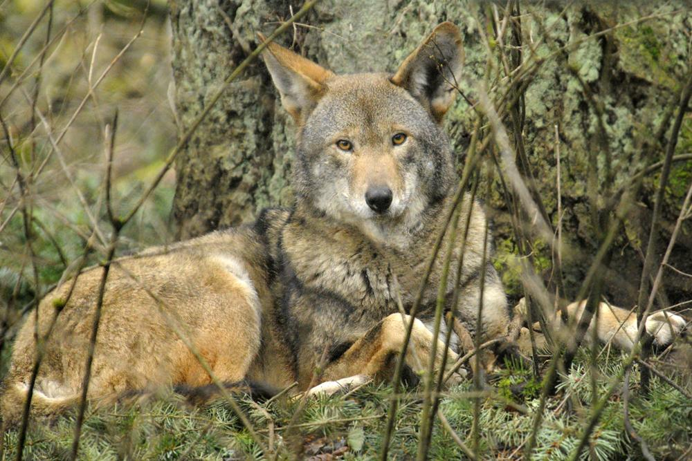 Celebrating Wolf Awareness Week - meet Tamaska, a red wolf (an endangered species now found only in N. Carolina). http://t.co/GlP7XXjrEW