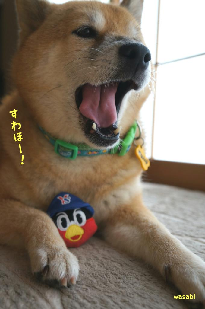 http://twitter.com/wasabi_shiba/status/655355267660427264/photo/1