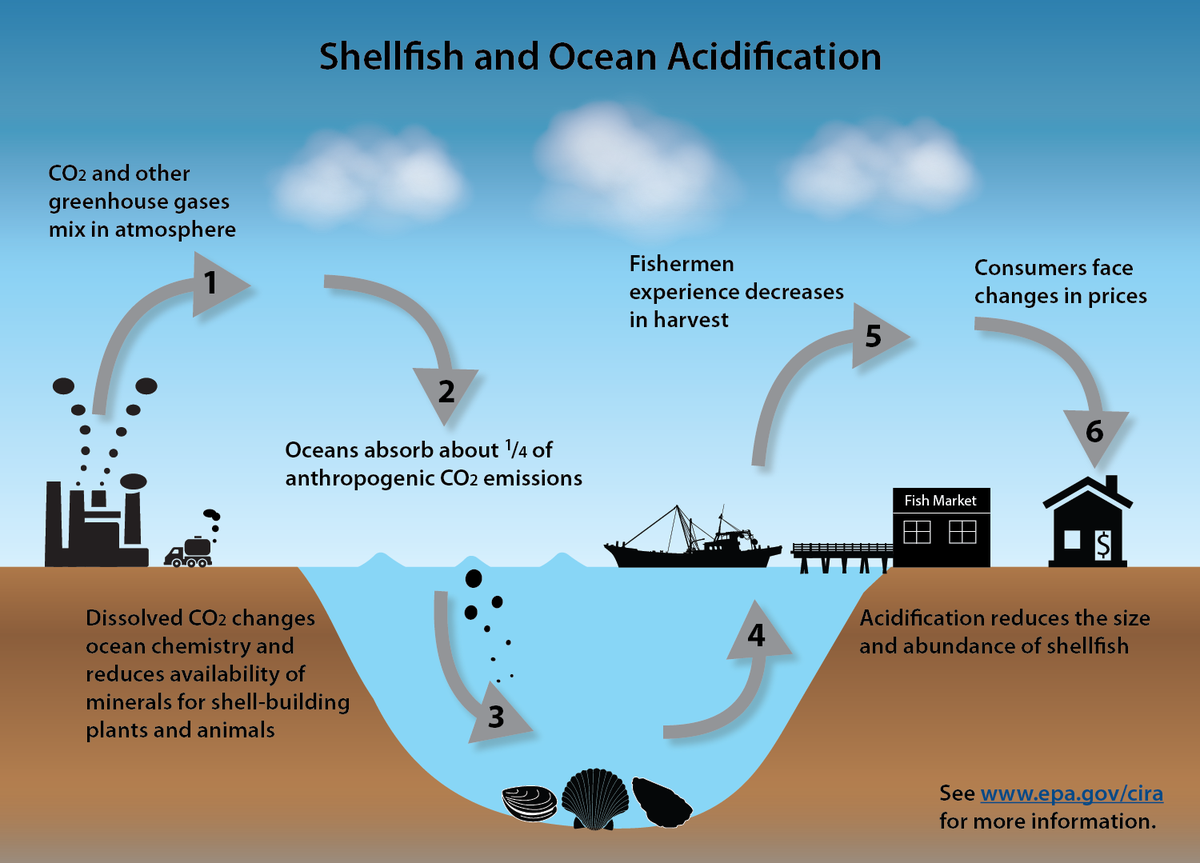 Ocean acidification → 48% less scallops, 45% less oysters, 32% less clams harvested in 2100. https://t.co/yQws6gmfRn https://t.co/nrGbnKb81j