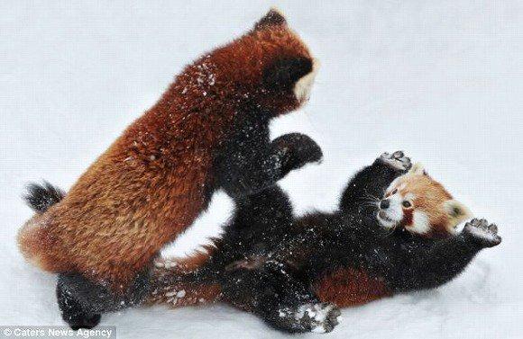 レッサーパンダのトレース莉嘉みりあ https://t.co/37KKwHpNbD