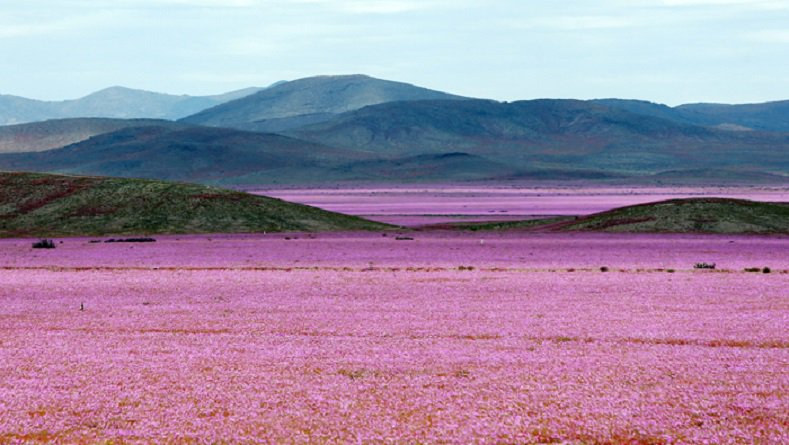 Flowers bloom in #Chile's Atacama desert https://t.co/4VGy5U95IK https://t.co/XerpJCuCy8