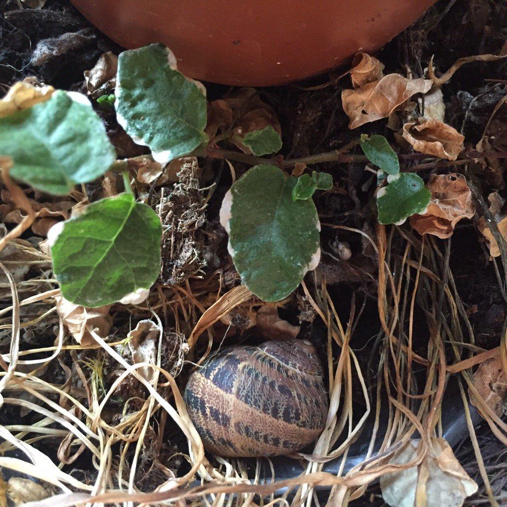 Piccoli ospiti in letargo nel #balcone_giardino 🐌 https://t.co/PuLD2T5Cse