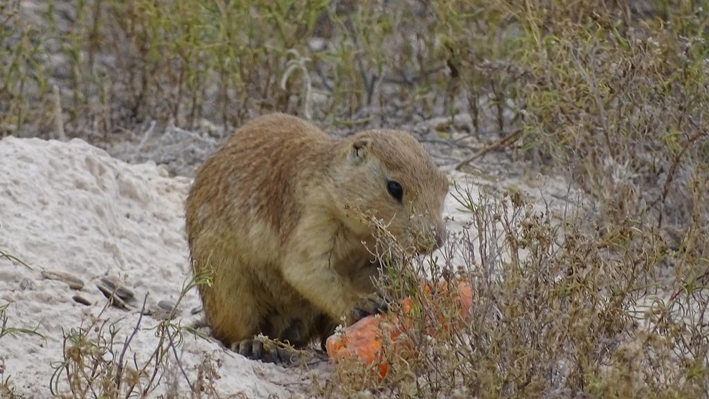 El perrito de la pradera (Cynomys mexicanus) es una especie endémica de #México https://t.co/grw9mYszGZ
