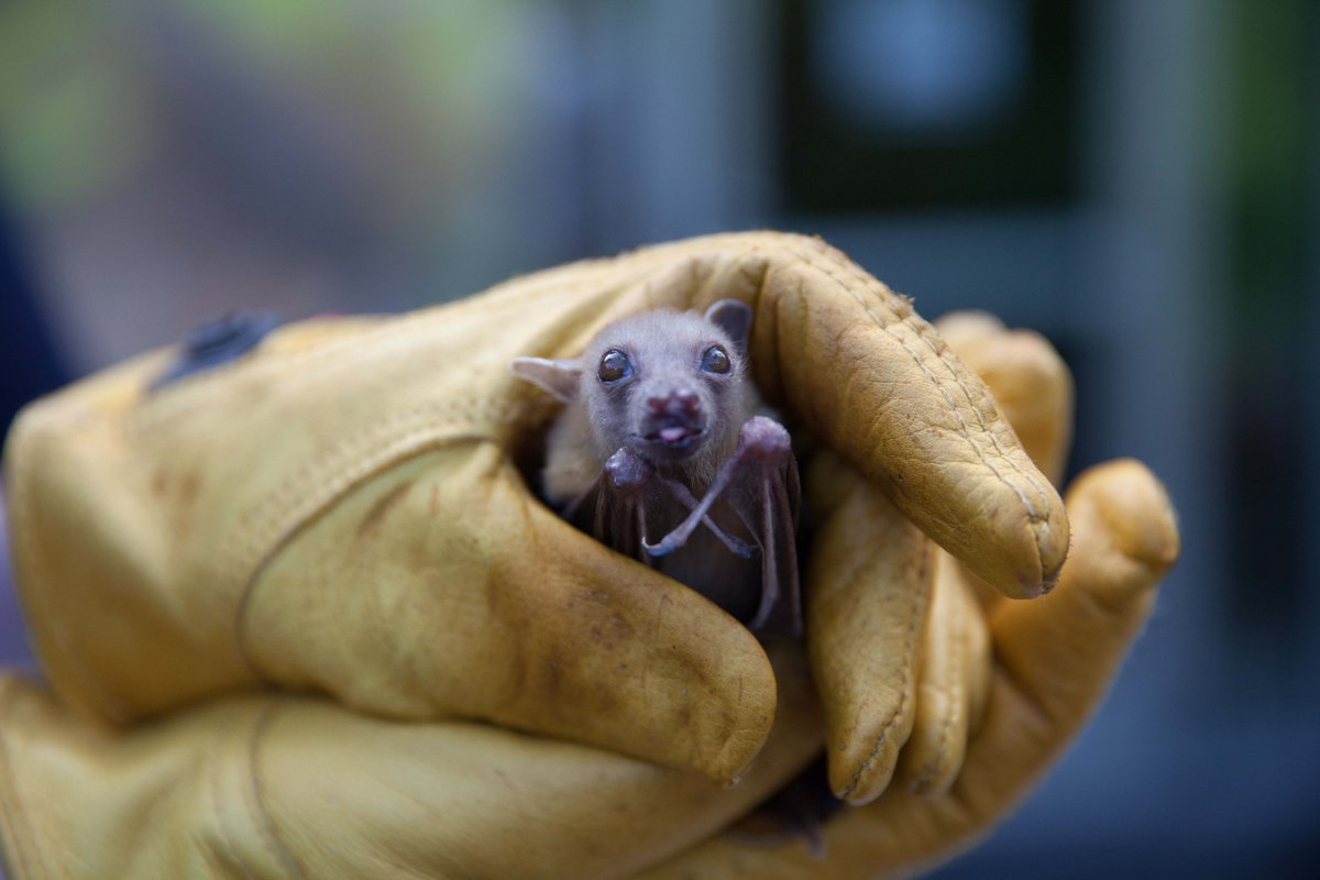 #Halloween bats may be spooky, but #Michigan bats keep our food healthy: https://t.co/HW2mzeZfT4 #SavetheBats https://t.co/oQBiGGslMp