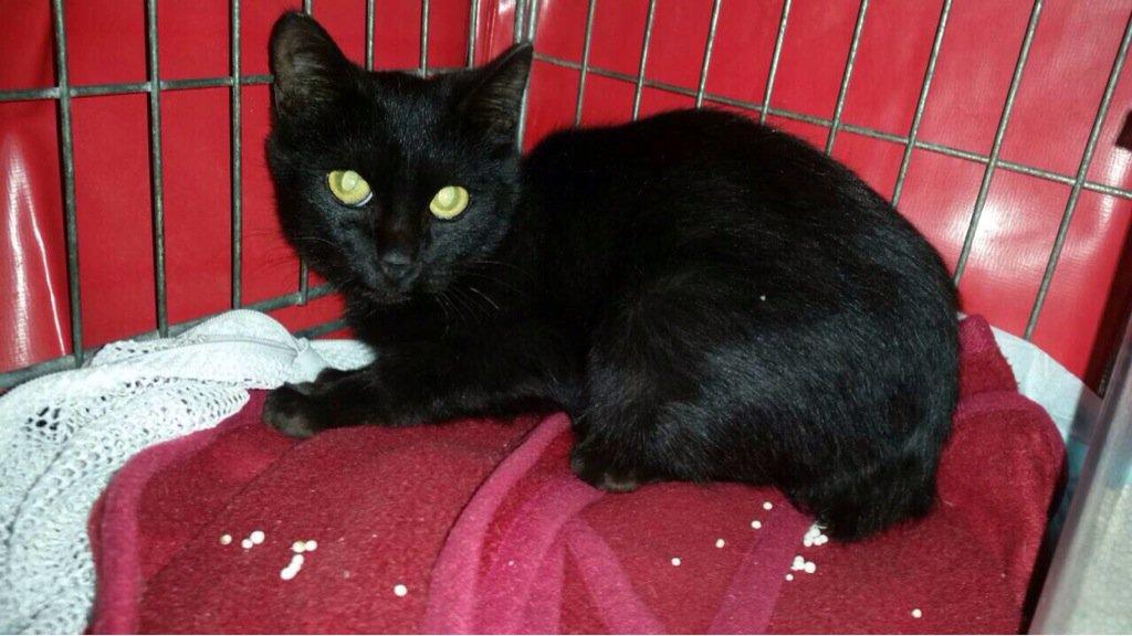 黒猫ちゃんの里親募集です。 男の子。3ヶ月です。 すごくキレイな顔立ちです。 知り合いの勤めていた名古屋市内の動物病院で保護されてます。 ネコ好きには、黒猫は人気です。 里親になってくれる方がいれば、ご紹介よろしくお願いします! https://t.co/KLeSsZ40dJ