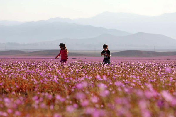 【感動】チリのアタカマ砂漠に大雨→信じられないような光景に https://t.co/z4kOtUVoKN  「地上で最も乾燥した砂漠」と言われる場所ですが…。地表近くで「冬眠」していた花々が一斉に芽吹き、咲き乱れました。