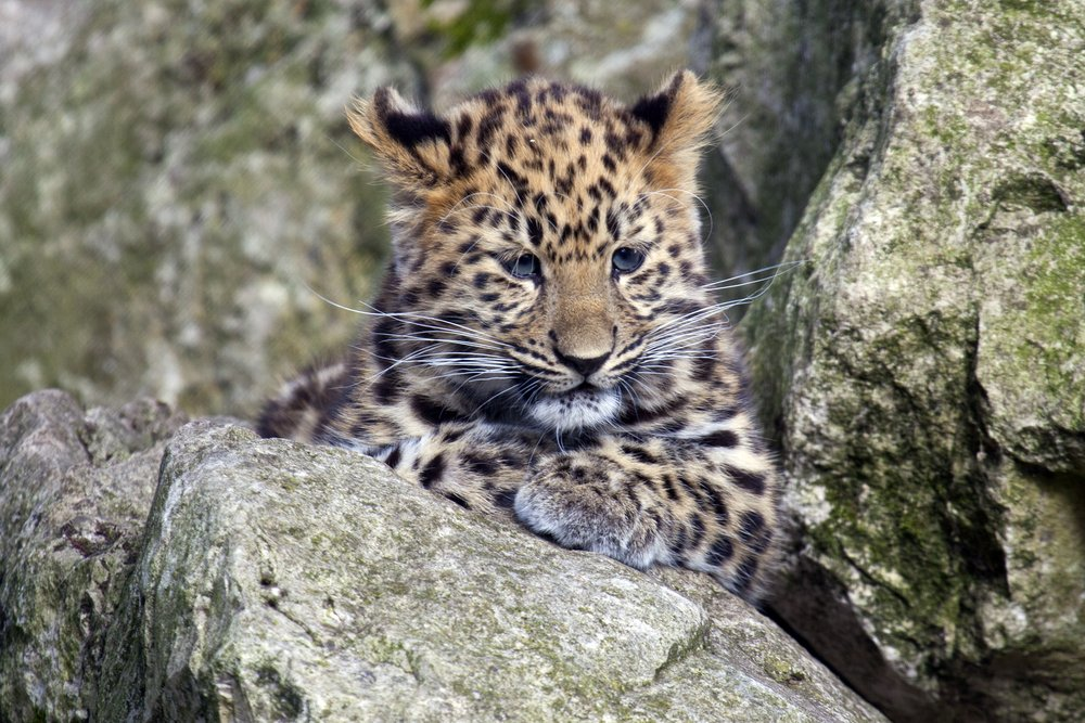 #DidYouKnow the Amur leopard, found in Russia and China, is the world's rarest wild cat? #EndangeredSpecies https://t.co/IZmG109UdR