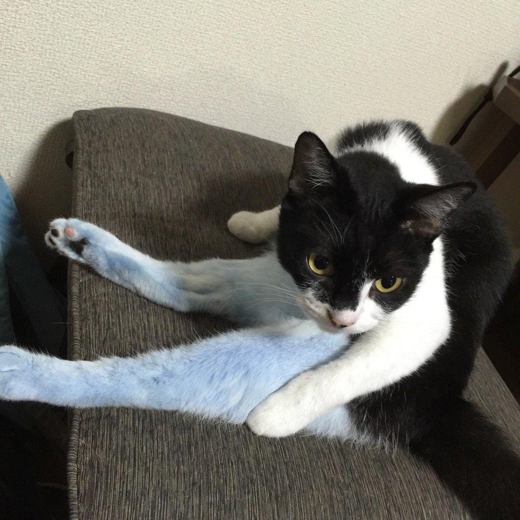 藍(かめに落ちて)染(まった)猫、乾きました。  ちょっとおこです。 https://t.co/SWRhMJg2qM