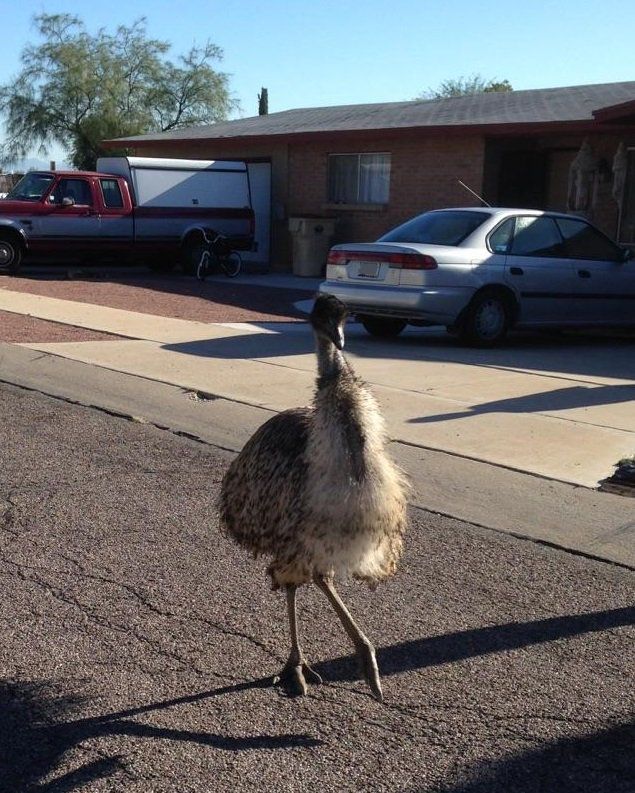 Emus on the loose near Mexico St. & Cardinal Ave. Be on the lookout! #Emusontheloose #Tucson #Traffic https://t.co/R29NWT7JuT