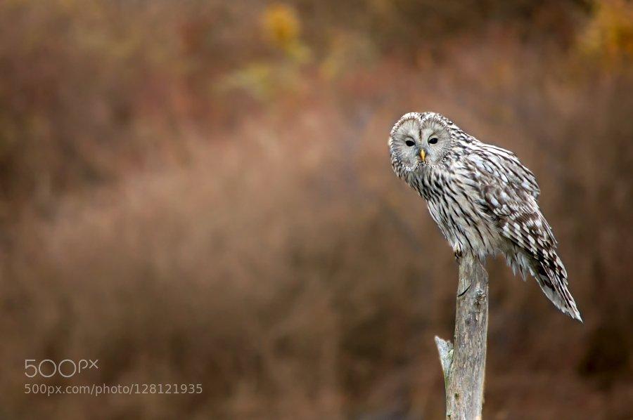 Popular on 500px : Ural Owl (Huhurezul mare) by corneliucozmescu https://t.co/Rzb6xlWwRG