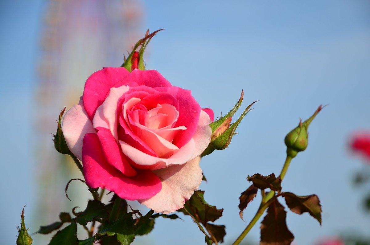 ブライダルピンクという本来ピンク一色のバラが、先日ピンクと赤の花びらが混じって咲いているのが一輪発見されました。枝変わりだと思いこの株に注目していたのですが、この模様で咲いたのはこの一輪だけ。バラ達からの一輪だけの贈り物でした。 https://t.co/qKxGHRFFfv