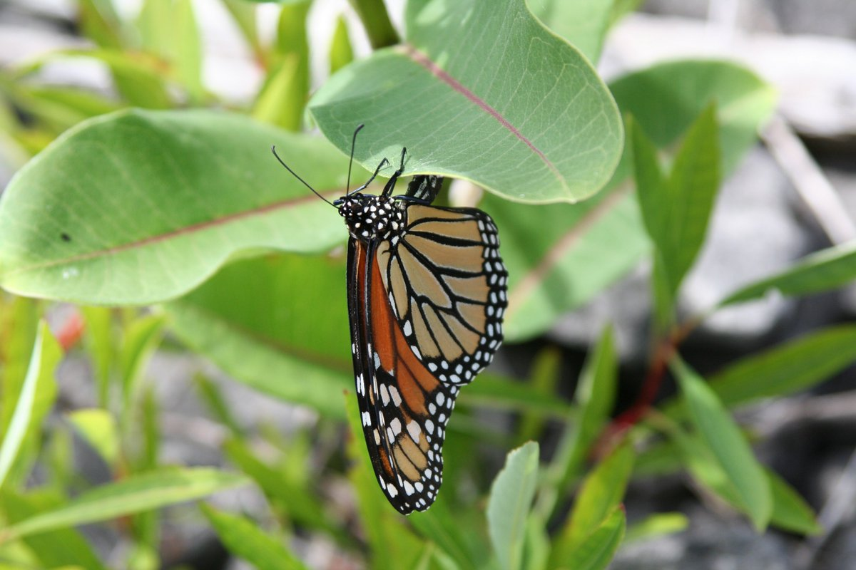3-4 times as many #monarch butterflies expected to arrive in #Mexico this season https://t.co/Vx6EvtbblE https://t.co/WppdID2skK