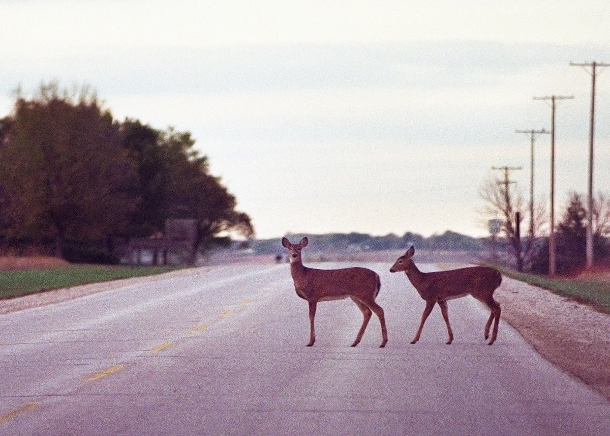 It's Deer-Day, the peak day in KS for deer/vehicle crashes – be on the lookout - https://t.co/USlm16GX4g https://t.co/qJ4PNaBw7O