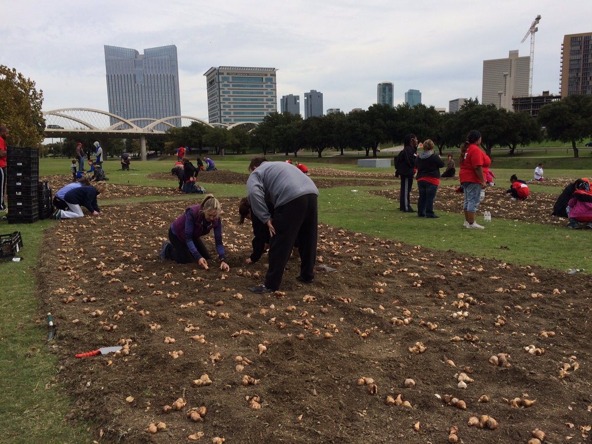 Volunteers Are Nearly Finished Planting Of 15k Daffodil Bulbs