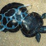 """""""La tortuga cacahuate"""" Los animales no deberían tener que pagar por nuestra irresponsabilidad... https://t.co/AnKE8BRAwF"""